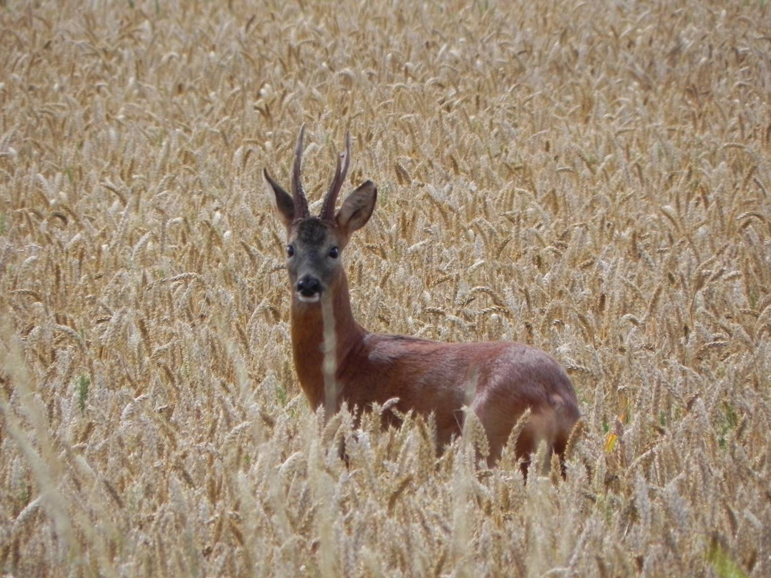 Roe Deer explores the wheat fields